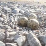 野鳥ケリの卵